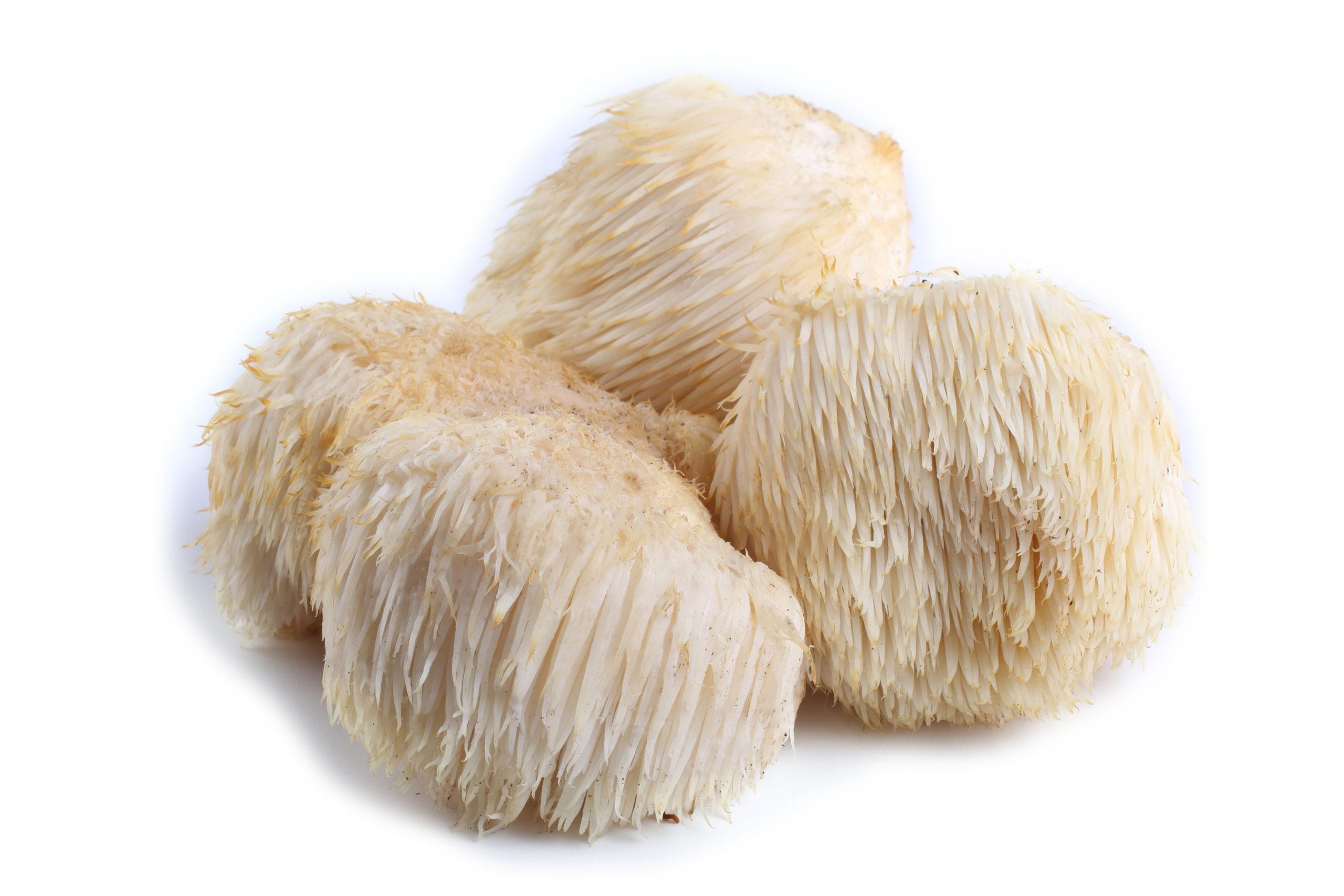 Lion's Mane mushroom  (Hericium erinaceus)